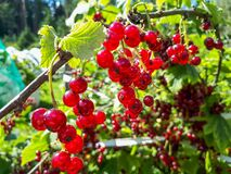 Free Perfect Ripe Redcurrants On The Branch Between Green Leaves In The Sunlight Stock Image - 195362571