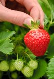 Perfect ripe strawberry being plucked royalty free stock photo