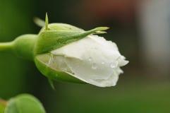 Perfect rosebud Royalty Free Stock Photography