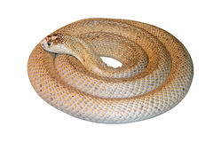Perfect round snake. Perfect round rolled venomous snake Stock Image