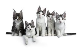 Perfect row of five blue / black tabby high white Maine Coon cat isolated on white background