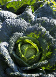Perfect savoy cabbage Stock Image