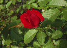 Perfect scarlet rose. Grown in my garden Royalty Free Stock Photography