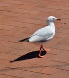 Perfect Shadow: Sea gull in Rockingham, Western Australia royalty free stock photos