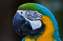 Guacamayo Royalty Free Stock Image