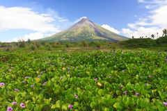 Perfect Shope Cone Volcano Smoking. Mayon Volcano a perfect cone shape behind a field of flowers in Legaspi, Southern Luzon, Philippines stock photo