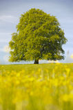 Perfect single beech tree Stock Photo