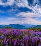 A perfect sky with clouds. over meadow with lupin flowers. picturesque scene. breathtaking scenery. wonderful landscape. Royalty Free Stock Image