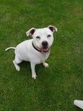 Perfect som ser hunden med ett leende som sm?lter en hj?rta royaltyfri fotografi