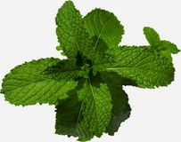 Perfect Spearmint Royalty Free Stock Image