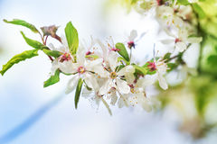 Perfect spring cherry blossom tree in garden Royalty Free Stock Images