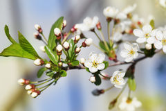 Perfect spring cherry blossom tree in garden Stock Images