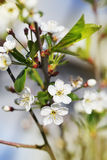 Perfect spring cherry blossom tree in garden Stock Photos