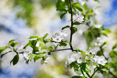 Perfect spring cherry blossom tree in garden Stock Photo