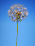 Perfect Statuesque Dandelion Clock Stock Photography