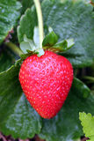Perfect strawberry. Single red ripe strawberry glistening with morning dew, still on bush stock images