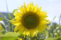 Perfect Sunflower. On Perfect Summer Day stock photos