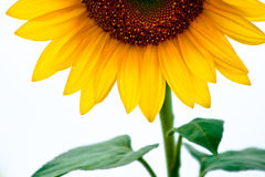 Perfect sunflower Stock Photography