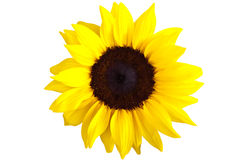 Perfect Sunflower, isolated Royalty Free Stock Images