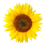 The perfect sunflower on white Royalty Free Stock Photo