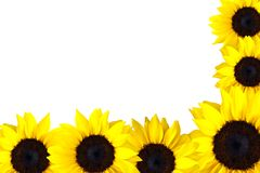 Perfect Sunflowers Stock Photos