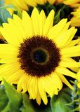 Perfect Sunflowers into Leafs royalty free stock photos
