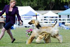 Perfect teamwork handler and Afghan Hound in dog show ring royalty free stock photos
