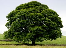 Perfect Tree Royalty Free Stock Image