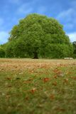Perfect tree on a park field Stock Photo