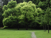 Perfect Twin Camphor Trees Stock Image