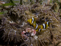 Perfect underwater symbiosis between clownfish, porcelain crab and anemone, Mozambique, Africa Royalty Free Stock Images
