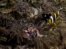 Perfect underwater symbiosis between clownfish, porcelain crab and anemone, Mozambique, Africa Stock Image