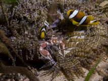 Perfect underwater symbiosis between clownfish, porcelain crab and anemone, Mozambique, Africa Royalty Free Stock Photography
