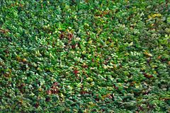 Perfect verdant hedge with monotonous leafing. Green fence, intertwining of lianas in Southeast Asia. Perfect verdant hedge with monotonous leafing, screening Stock Image