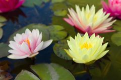 Three pastel water lilies Royalty Free Stock Image