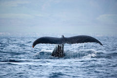 Free Perfect Whale Tail Stock Photo - 10688420