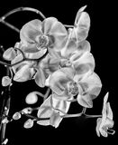 Perfect White BW. Macro of blooming white Orchids against a black back drop in Utah USA in B&W Stock Photo