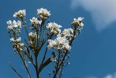 Perfect White flowers with blue Sky. Background Royalty Free Stock Images