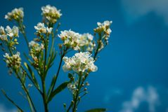 Perfect White flowers with blue Sky. Background Stock Photos