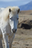 Perfect White Icelandic Horse. Solitary white Icelandic horse wandering in a field Royalty Free Stock Photo