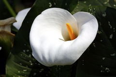 Perfect white Lily. Perfectly formed white Lily flower Stock Images