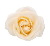 Perfect white rose Stock Image