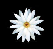 A perfect white water lily. Stock Photography