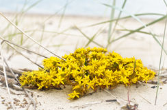 Perfect yellow flowers on seaside beach Stock Photography