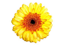 Perfect yellow gerber daisy Royalty Free Stock Photography