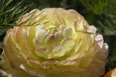 Perfect Yellow Persian buttercup.Closeup Royalty Free Stock Photos