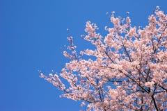 Perfecte blauwe hemel en kersenbloesems Stock Foto