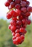 Perfecte Druiven royalty-vrije stock foto's