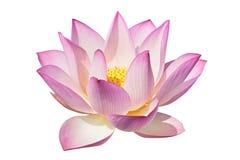 Perfecte lotusbloem Stock Foto's