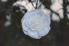 Perfecte zuivere Camellia Blooming in de lente royalty-vrije stock fotografie